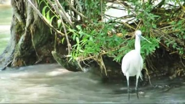 Little Egret is hunting (Egretta garzetta) at Lake Balaton — Stock Video