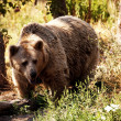 Grizzly bear in the forest — Stock Photo