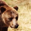 Grizzly bear in natural environment — Stock Photo