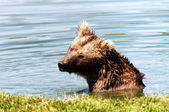 Grizzly bear in the lake — Stock Photo