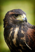 Harris hawk portrait — Stock Photo