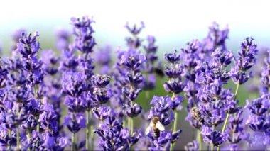 Honey Bees in lavender (Lavandula angustifolia) — Stock Video