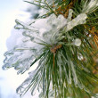 Branch of pine-tree — Stock Photo