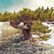 Pine on the cliff - Stock Photo