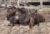 Elks rest — Stock Photo