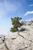 Pine tree on a precipice — Stock Photo