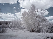 White birch — Stock Photo