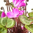Cyclamen — Stock Photo #34668003