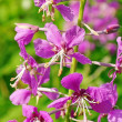 Stock Photo: Flowers are Willowherb