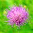 Stock Photo: Cirsium