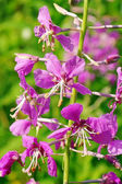 Flowers are Willowherb  — Stock Photo
