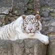 White Bengal tiger — Stock Photo #44572735