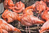 Asleep pink flamingos — Stock Photo
