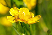 Ranunculus acris — Stock Photo