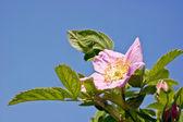 Flowering brier — Stock Photo