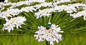 Heracleum flower and Cetonia aurata — Stock Photo