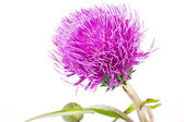 Knapweed — Stock fotografie