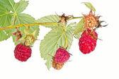 Raspberry — Stock Photo