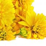Flower Golden Ball or Rudbeckia — Stock Photo #51078227