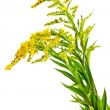 Постер, плакат: Solidago canadensis or Canada golden rod or Canada goldenrod