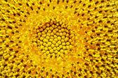 Flower of sunflower — Stock Photo