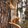 Red Squirrel — Stock Photo #21139057