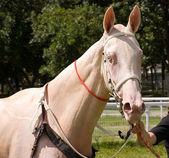 портрет лошади ахалтекинской — Стоковое фото
