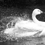 Beautiful Swan — Stock Photo #27164881