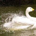 Beautiful Swan — Stock Photo #27164929