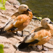 Ruddy Shelduck — Foto de stock #27200927