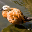 Foto de Stock  : Ruddy Shelduck