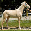 Portrait of akhal-teke horse — Stock Photo