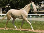 Retrato de caballo akhal-teke — Foto de Stock
