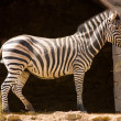 Zebra — Stock Photo #31402739