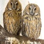 Owl closeup portrait — Stock Photo