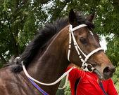 Portrait de cheval. — Photo