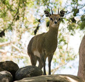 Beautiful doe looking at camera,San Diego — Stock Photo