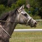 Portrait of horse. — Stock Photo #50029155