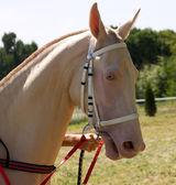 Portrait of akhal-teke horse — Stock Photo