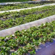 Rows of seedling of strawberry — Stock Photo