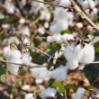 Close-up of cotton bolls on branch - Stock Photo