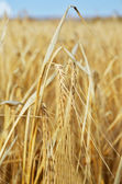 One spica in yellow wheat field — Stock Photo