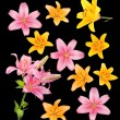 A lot of multicolored lilies on black background — Stock Photo