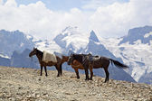 Horses on the mountain top, Dombay — Stock Photo