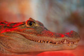 The portrait of spectacled caiman in the evening light — Stockfoto