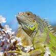 Iguana at walk on the flowering cherry tree — Stock Photo