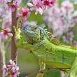 Iguana at walk on the flowering peach tree - Stock Photo