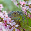 Iguana for a walk, eat a peach flowers - Stock Photo