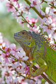 Iguana at walk on the flowering peach tree — Stock Photo