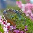 Iguana at walk on the flowering peach tree — Stock Photo
